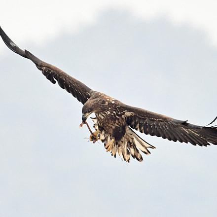 White tailed Sea Eagle, Nikon D850, AF-S VR Nikkor 600mm f/4G ED