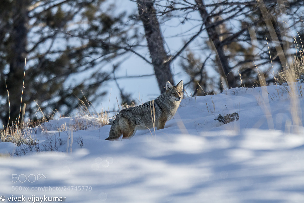 Photograph coyote by vivek vijaykumar on 500px