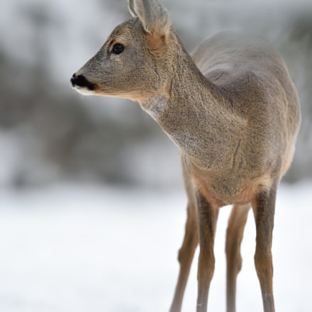Roe deer in winter, Nikon D4S