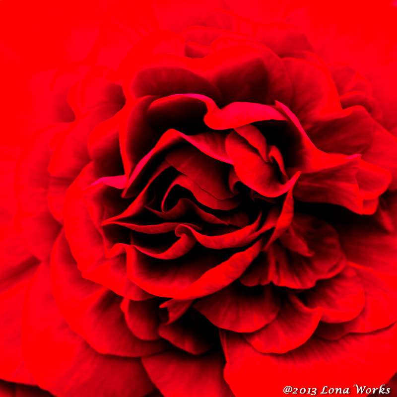 Photograph Begonia by Tomoaki Kabe on 500px