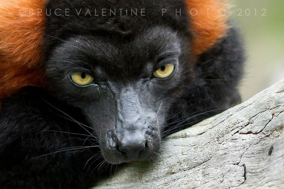 Photograph Red ruffed lemur by Bruce Valentine on 500px