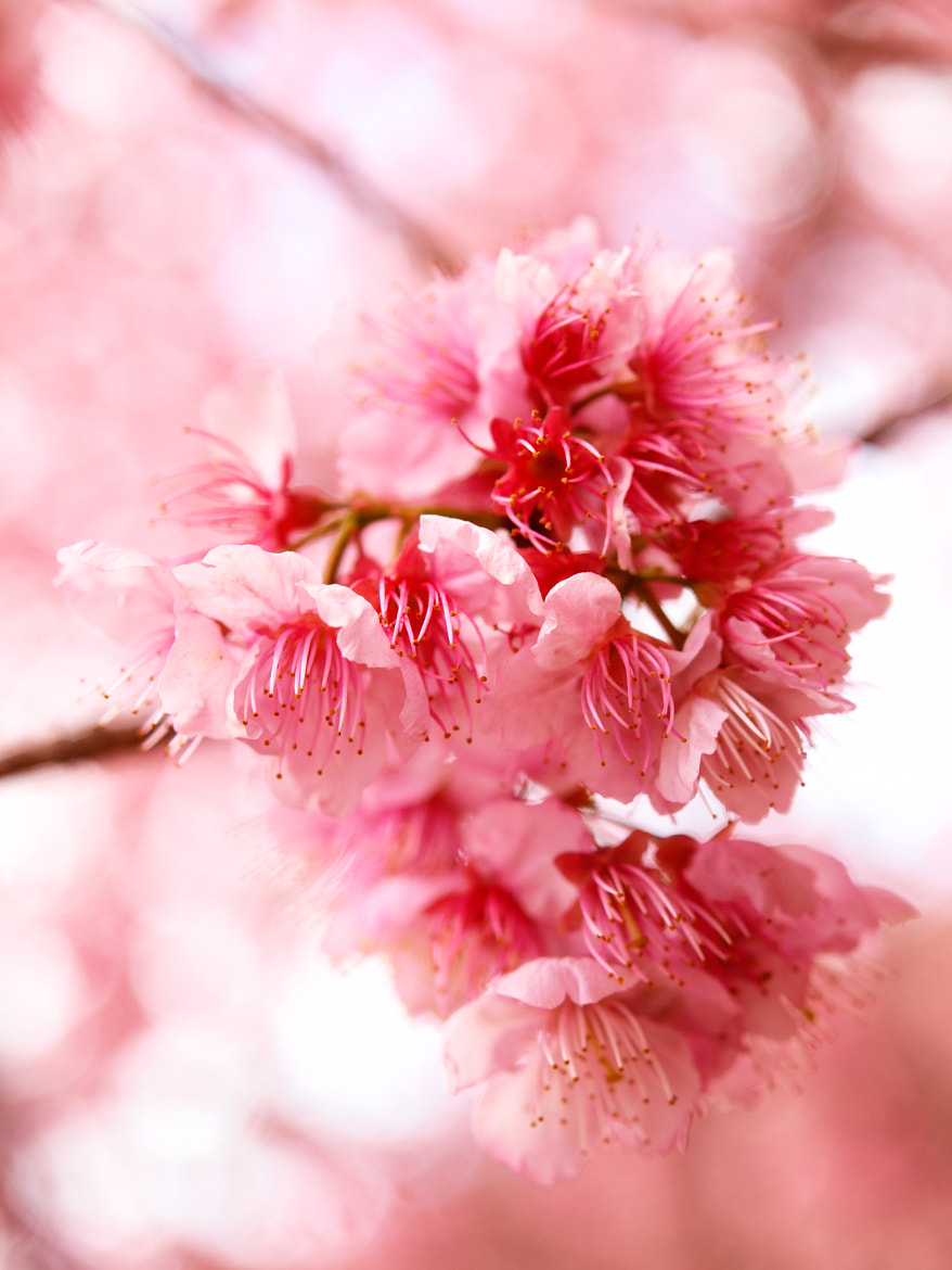 Photograph Flourishing Cherry Blossoms 2 by William Lo on 500px