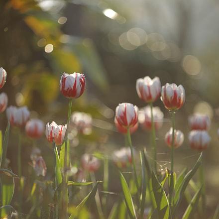 Tulips under the sun, Canon EOS 5D MARK IV, Canon EF 80-200mm f/2.8L