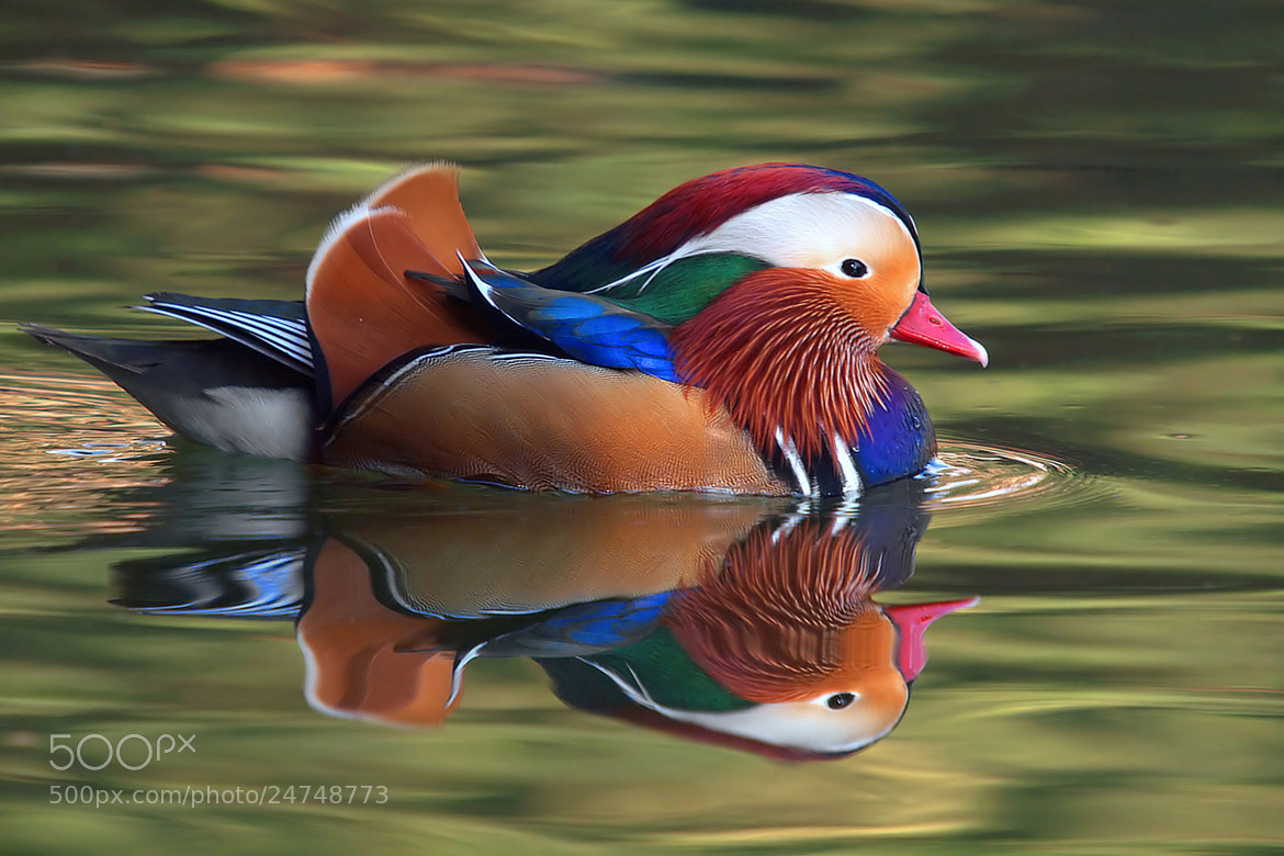 Photograph Mandarina duck by andrea cogrossi on 500px