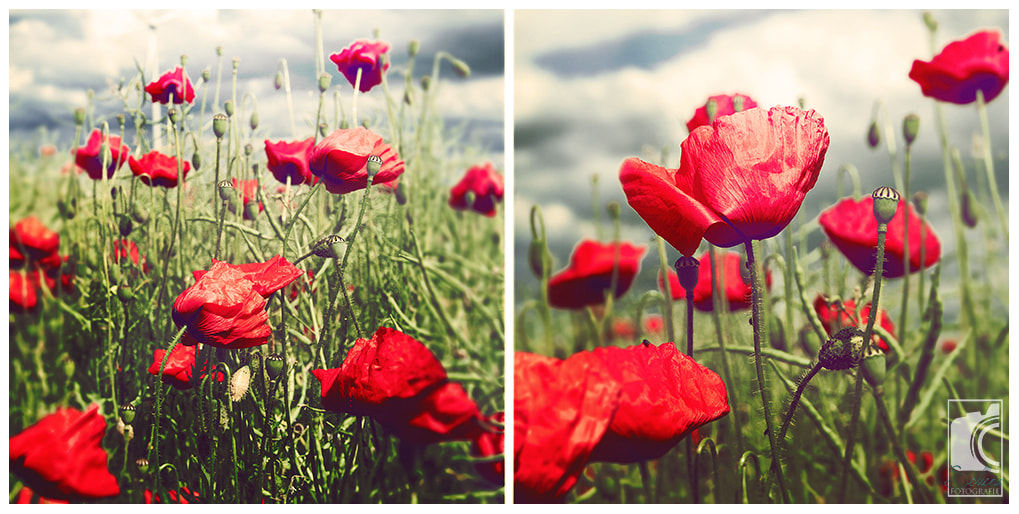 Photograph summer.poppy. by Sollena - Photography (Sandra) on 500px