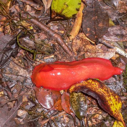 Flame slug (Triboniophorus graeffei), Panasonic DMC-FX2