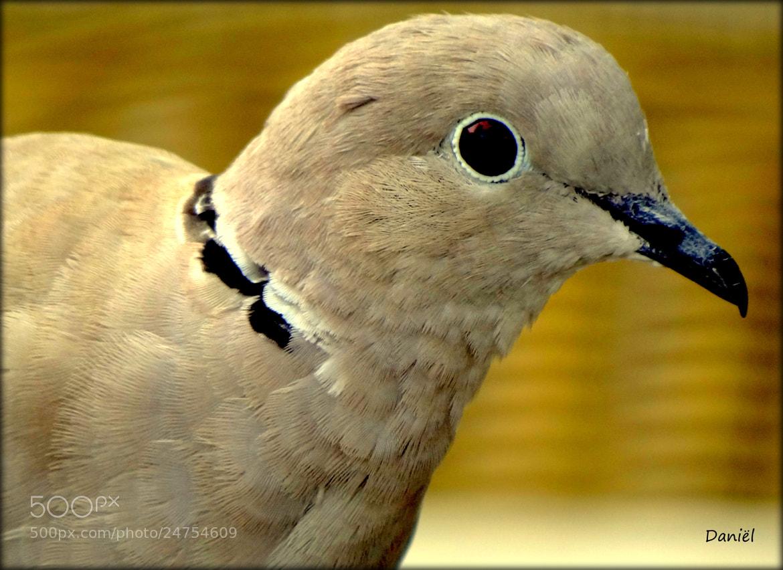 Photograph Eurasian Collared Dove...   ..   . by Daniël Van Hoecke on 500px