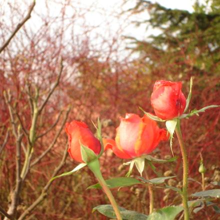 November roses, Sony DSC-L1