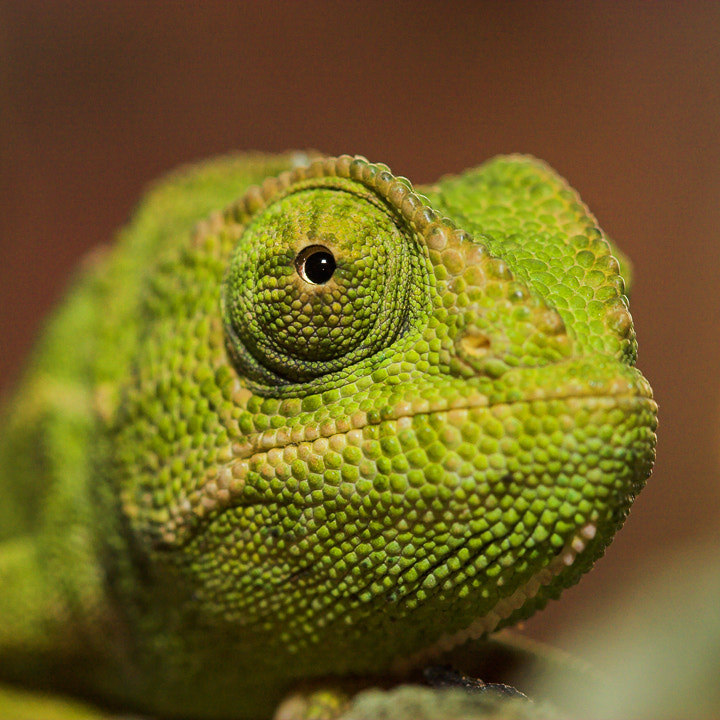 Photograph Chameleon face by Javier Abad on 500px