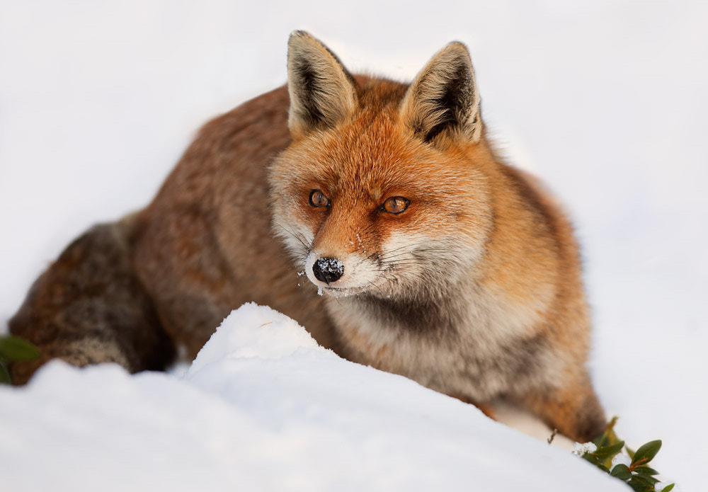 Photograph fox by Stefano Ronchi on 500px