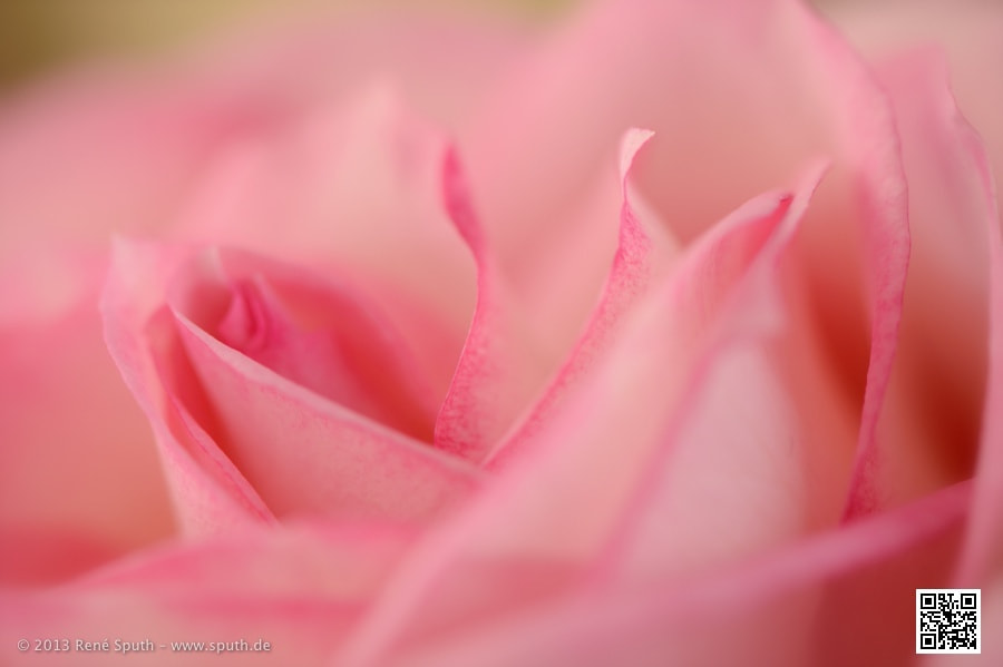 Photograph Rose Detail by René Sputh on 500px