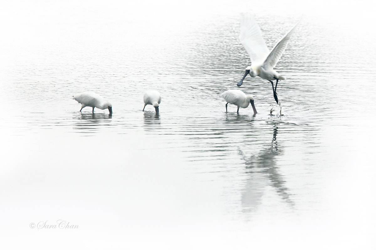 Photograph Black-faced spoonbill by Sara Chan on 500px