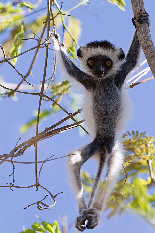 Photograph Baby Sifaka Gym by Giovanni Mari on 500px