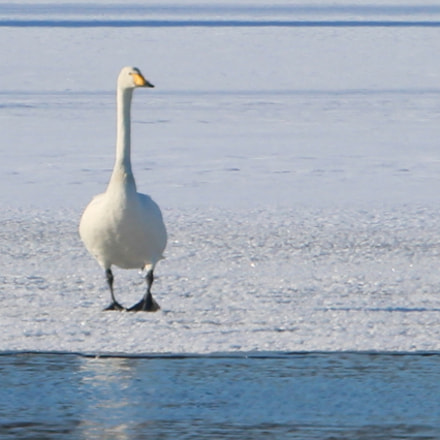 Lonely swan on the, Canon EOS 700D, Canon EF 70-300mm f/4.5-5.6 DO IS USM