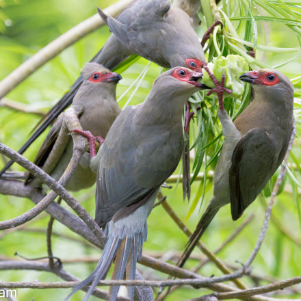 Red-faced Mousebird family