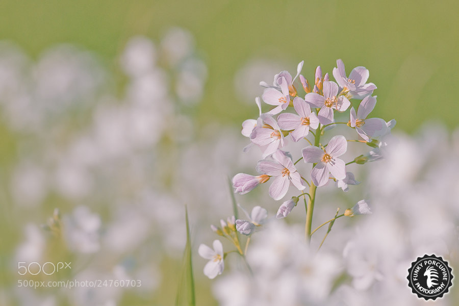Photograph Spring wild flower by Funky Porcupine on 500px
