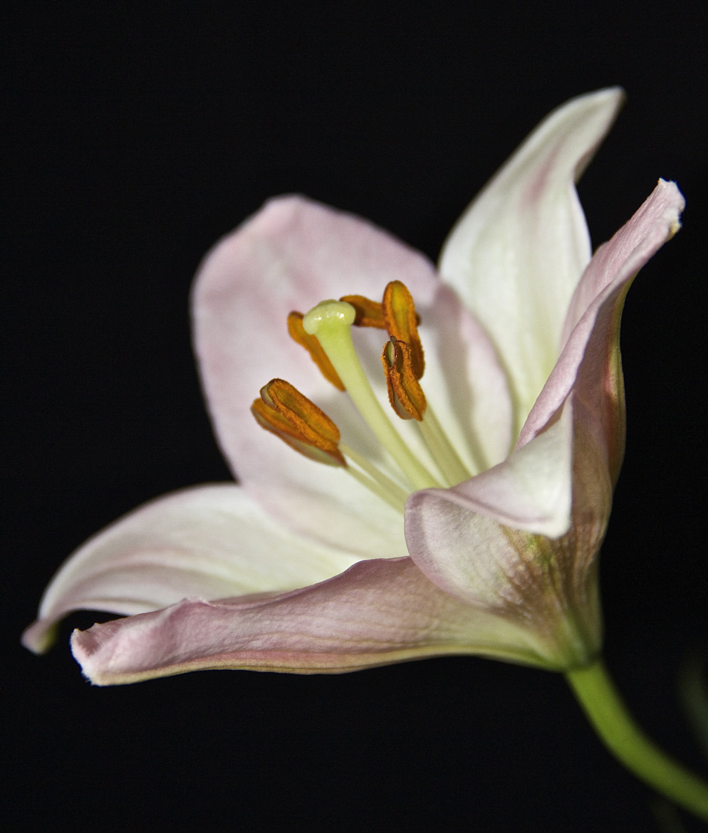 Photograph Pale Pink Lily by Ann Weis on 500px