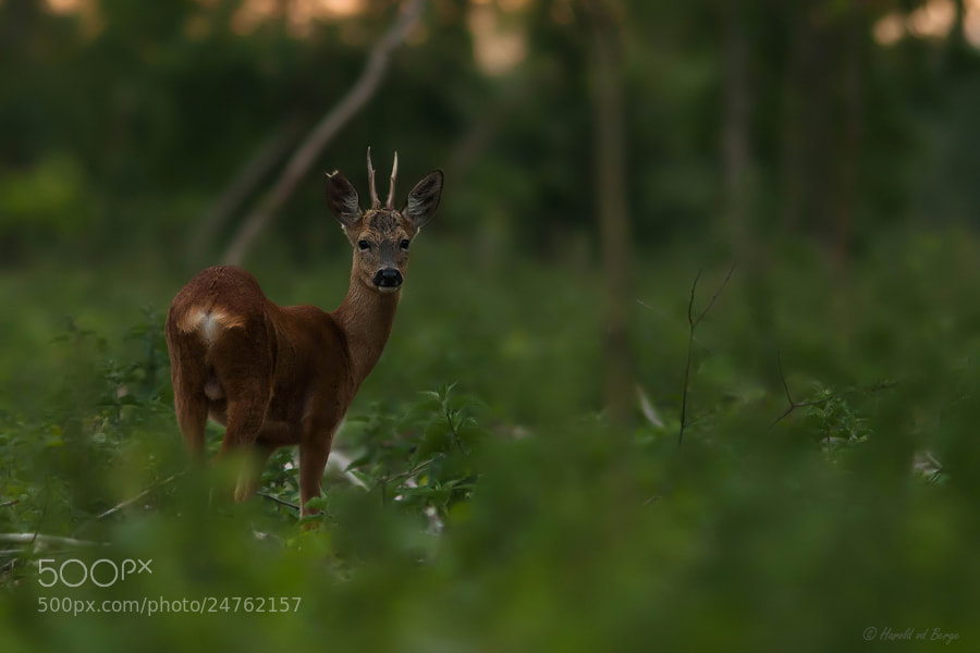 Photograph In the woods by Harold van den Berge on 500px