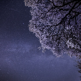 Cherry blossoms and Summer Triangle
