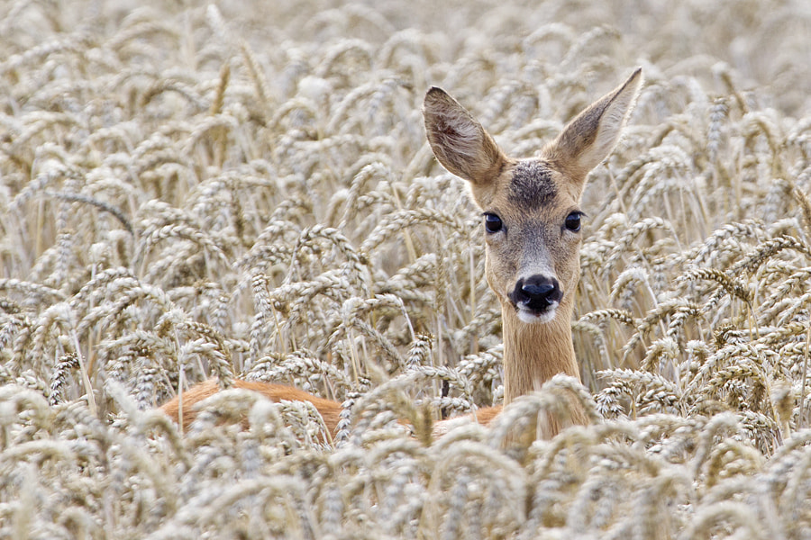 Photograph Deer by Christoph Mischke on 500px