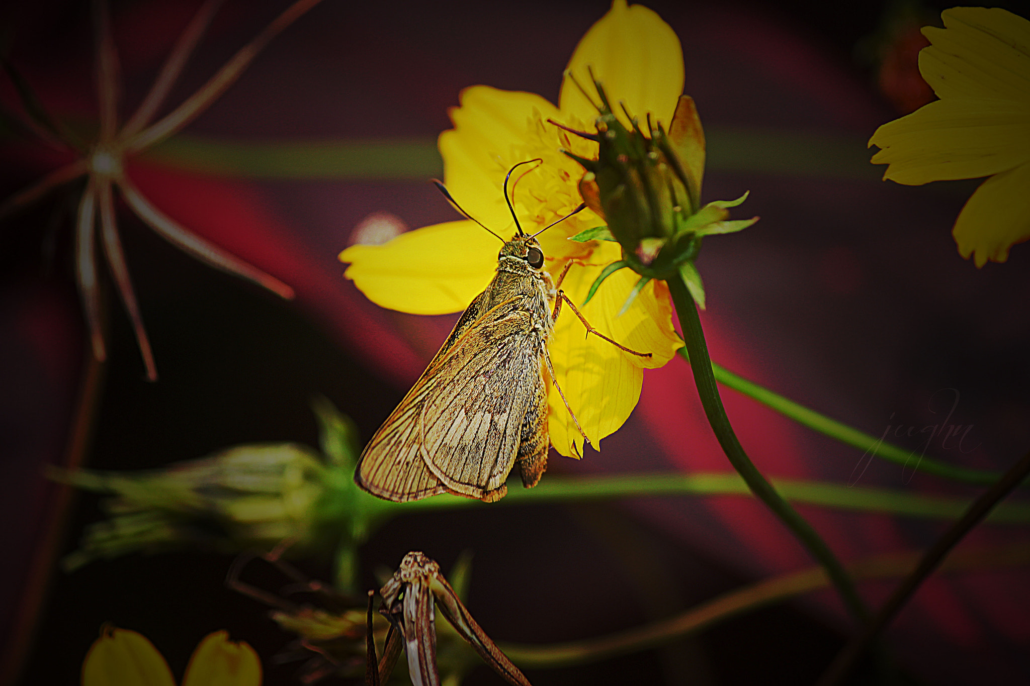 Photograph Moth & a Cosmos Flower by jughnguevarra on 500px