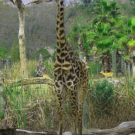 Giraffe, Canon POWERSHOT A560