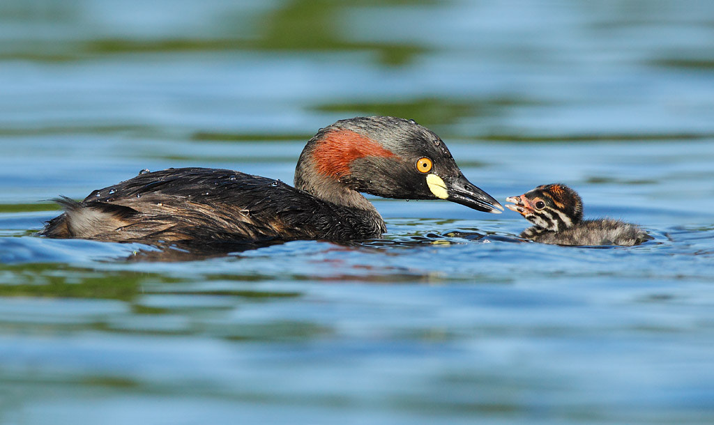 Photograph Australasian Grebe and a baby by Ofer Levy on 500px