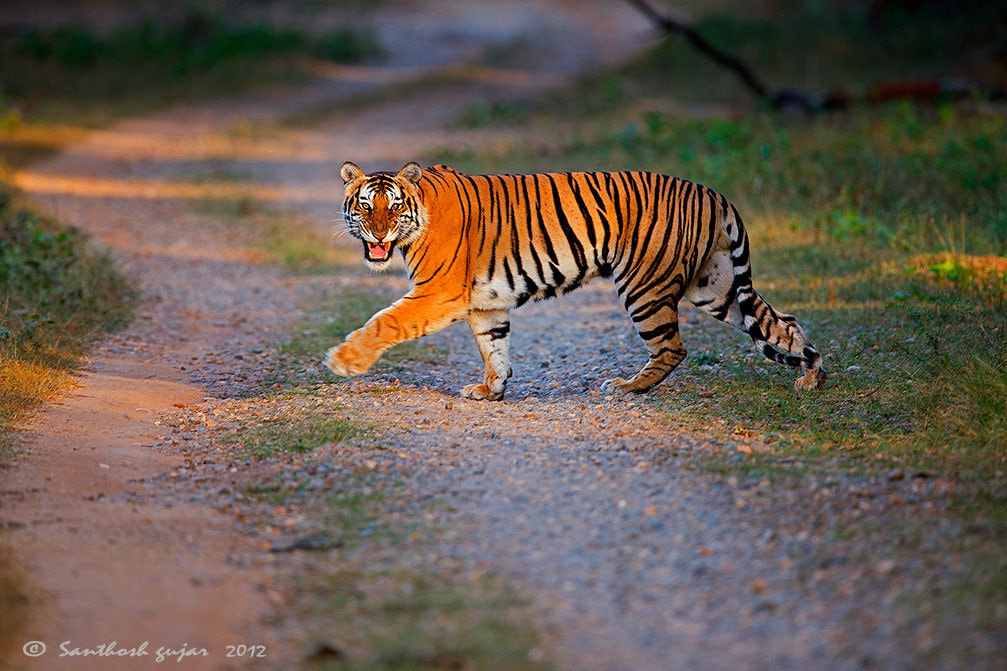 Photograph 1st tiger at Kabini, South Indian Jungles, INDIA by Santhosh Gujar on 500px