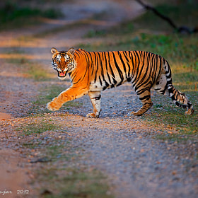 1st tiger at Kabini, South Indian Jungles, INDIA by Santhosh Gujar (SanthoshGujar)) on 500px.com