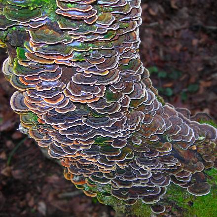 Turkey tail fungi Trametes, Nikon E7900