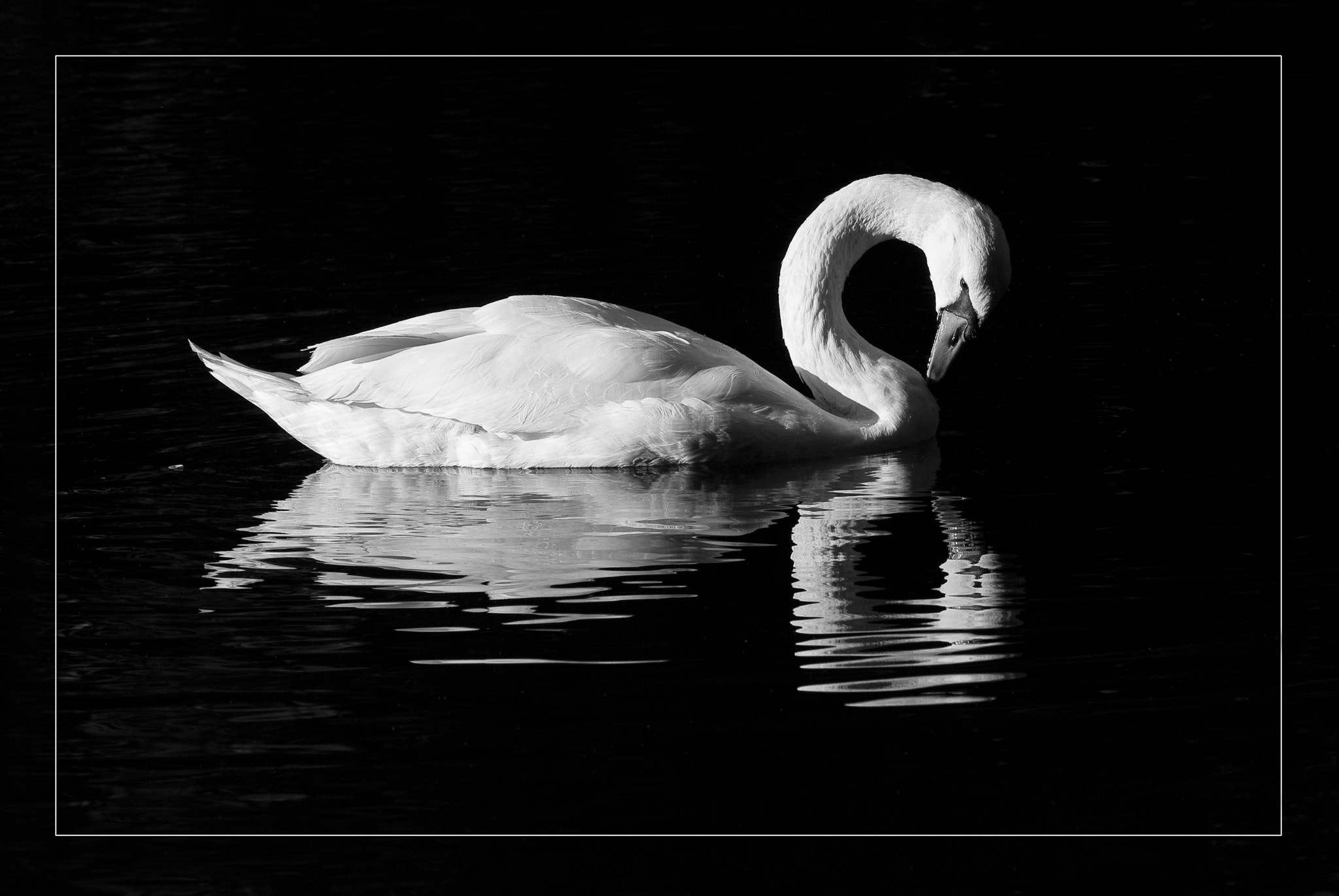 Photograph Swan by Alexander Männel on 500px