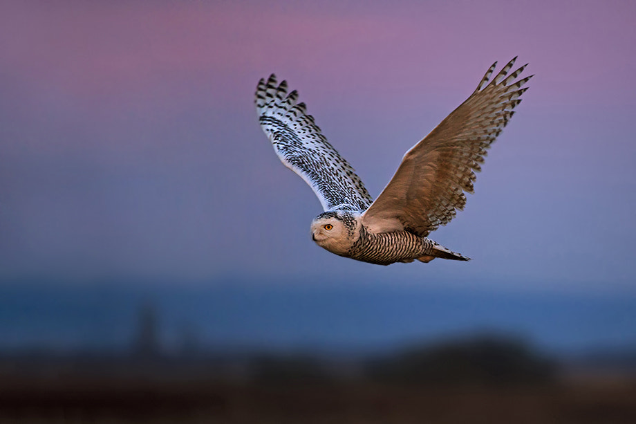 Photograph Snowy Owl at Twilight by Sean Crane on 500px