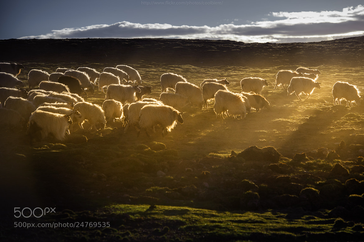 Photograph Herd by Coolbiere. A. on 500px