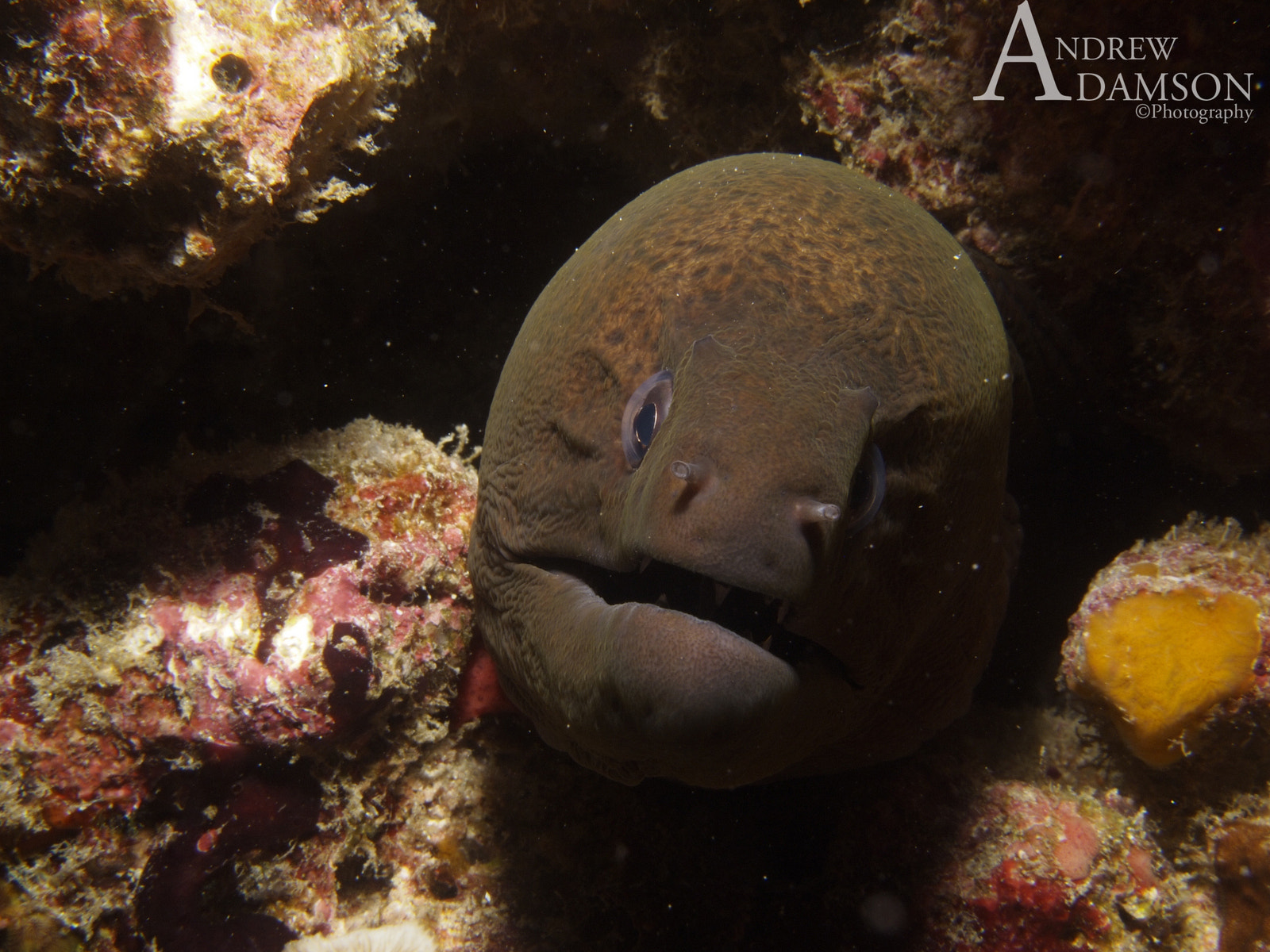 Photograph Giant Moray  by Andrew Adamson on 500px