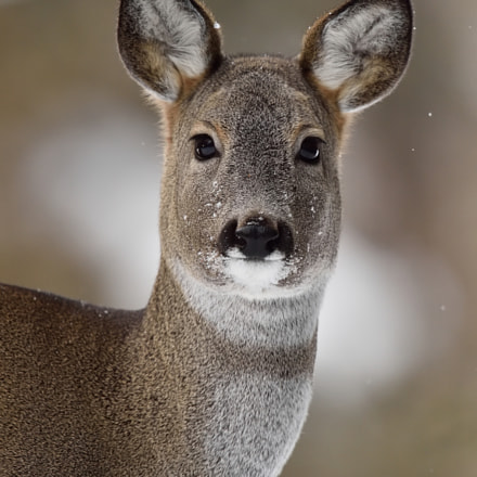 Roe deer portrait in, Nikon D4S