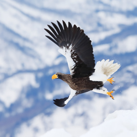 Steller sea eagle, Canon EOS-1D X, Canon EF 400mm f/2.8L IS II USM