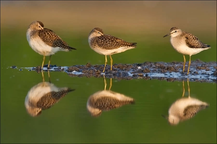 Photograph Three Wood Sandpipers by Marcin Perkowski on 500px
