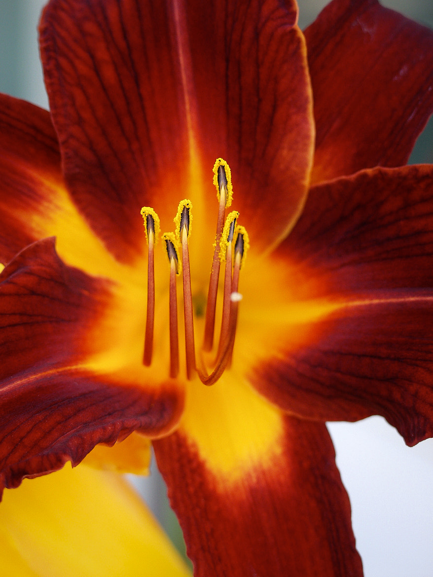 Photograph Day Lilly by Duane Keeling on 500px