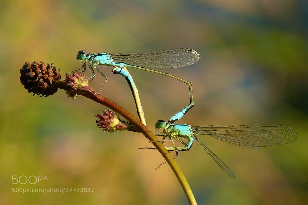 Photograph Dragonfly love by Petr Podroužek on 500px