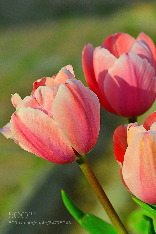 Photograph Tulips by Zeynep Ugurdag on 500px