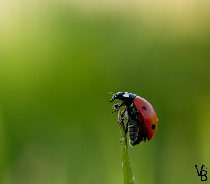 Photograph The Climbing Ladybird by Valentin  BLONCE on 500px