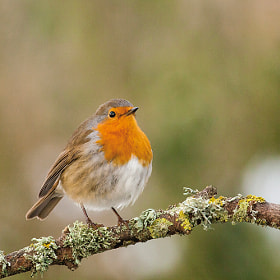 Robin II by Marc Pihet (Sempervirens)) on 500px.com
