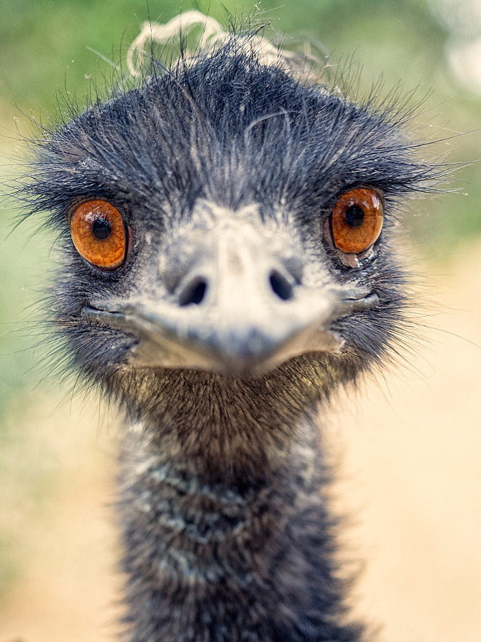 Eddie The Emu by Paul Amyes on 500px.com