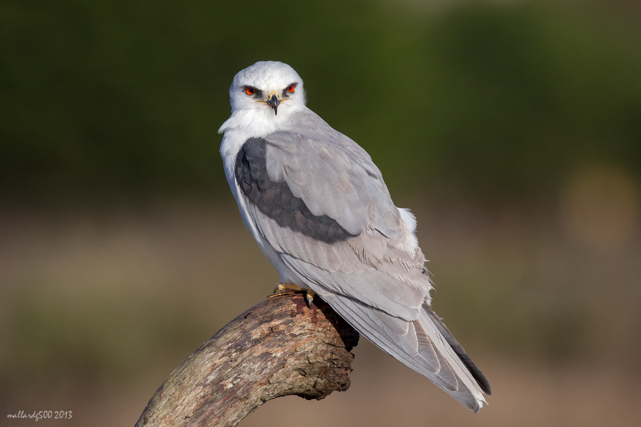 Photograph White-tailed Kite by Phoo (mallardg500) Chan on 500px