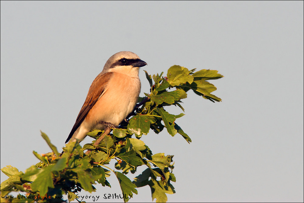 Photograph Red-backed Shrike (Lanius collurio) by Gyorgy Szimuly on 500px