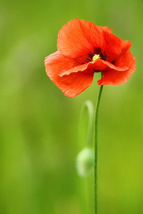 Photograph Poppy by Tinx  on 500px