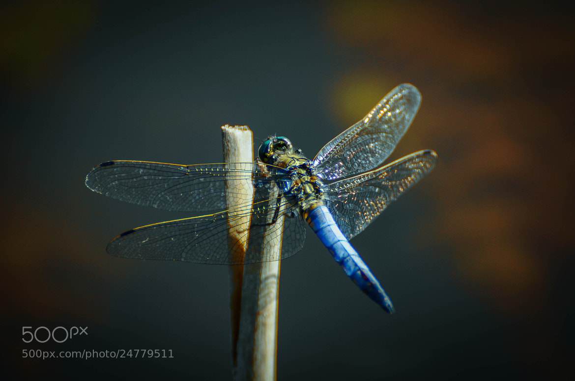 Photograph Dragonfly by Ralf Bessoth on 500px