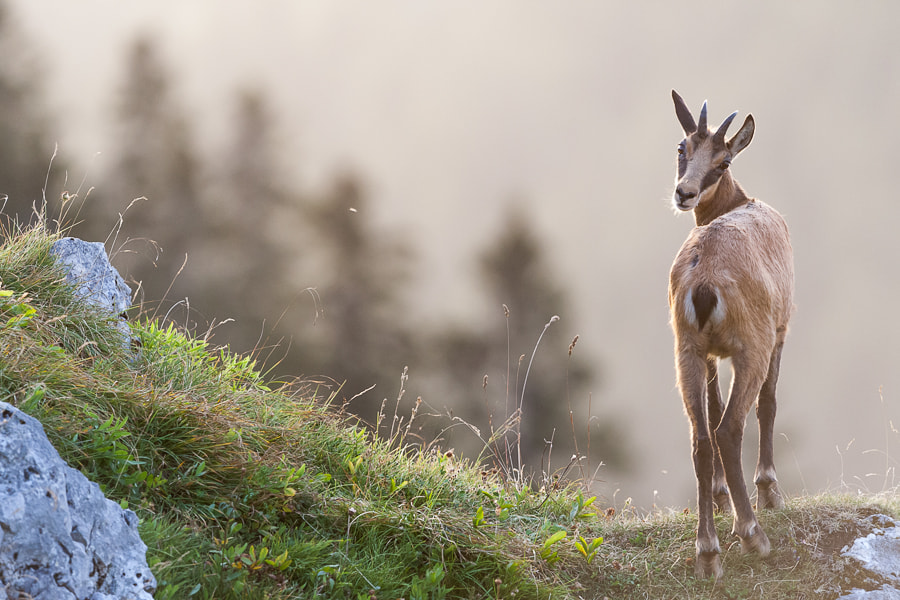 Photograph Chamois at sunrise by Marc Pihet on 500px