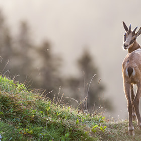 Chamois at sunrise by Marc Pihet (Sempervirens)) on 500px.com