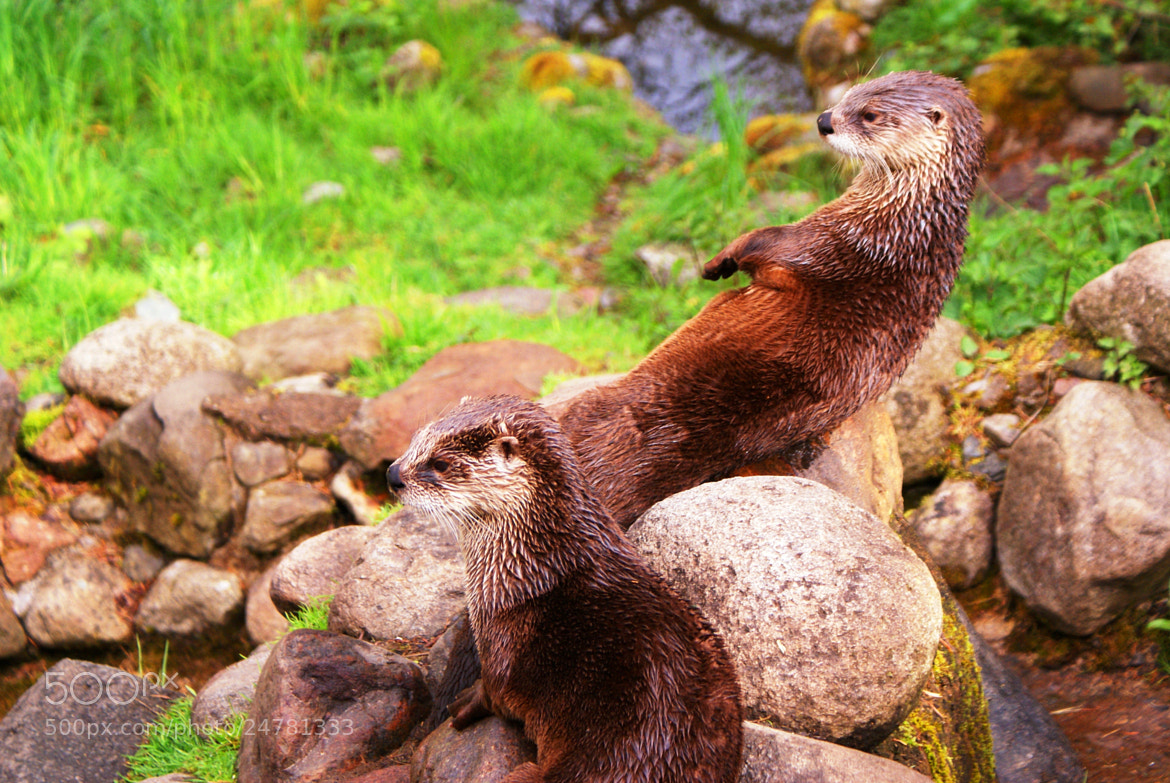 Photograph 2 Otters by Jemma Brannigan on 500px